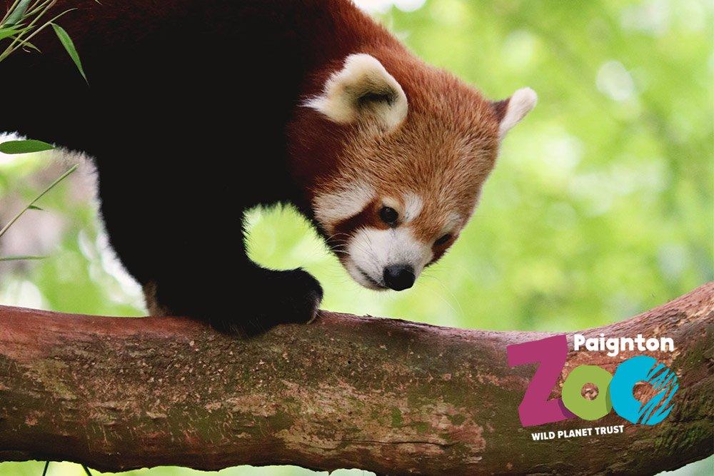 Red Panda Paignton Zoo